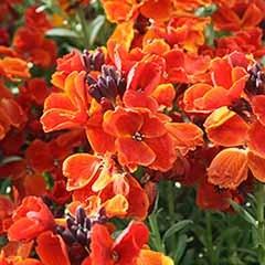 Hardy Wallflowers - 'Scarlet Emperor'