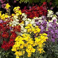 Hardy Wallflowers - Compact 'Harlequin Mix'
