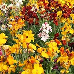 Hardy Wallflowers - Tall �Persian Carpet� Mix