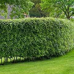 Beech (Fagus sylvatica) Hedging Plant 1-1.2m