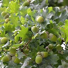 English Oak Tree with FREE Planting Kit