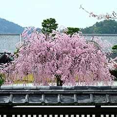 Flowering Cherry 'Kiku Shidare Zakura'