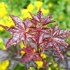 Acer platanoides 'Crimson King'