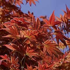 Liquidambar styaciflua Sweet Gum Tree