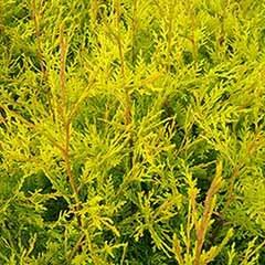 Golden Leylandii Conifer 2L