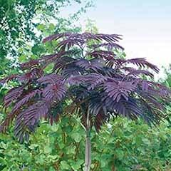 Chocolate Silk Tree - Albizia 'Summer Chocolate'