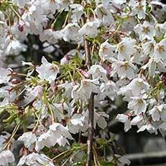 Flowering Cherry Tree 'Umineko'