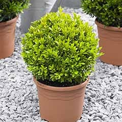 Pair of Buxus Box Balls 25cm diameter