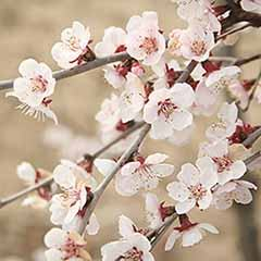Japanese Blossom Cherry Prunus Kojo-No-Mai