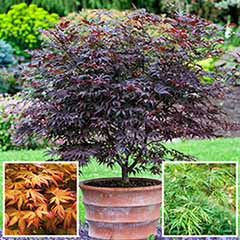 Acer Japanese Maple Collection 3 plants
