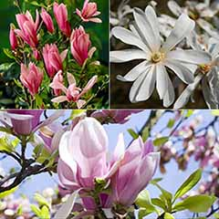 Magnolia Collection 3 varieties