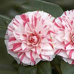 Camellia 'William Bartlett'