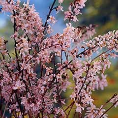 Pink Forsythia Tree Abeliophyllum distichum in a 9cm Pot