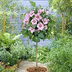 Hibiscus 'Hamabo' standard