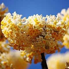 Edgeworthia chrysantha Grandiflora 'Paperbush'