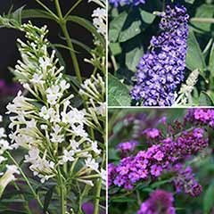 Compact Buddleia �Petite� collection - Butterfly Bush