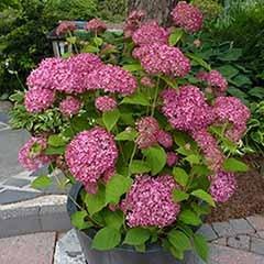 Tree Hydrangea 'Incrediball' White & 'Invincibelle' Pink
