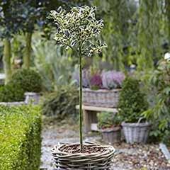 Ilex aquifolium 'Argentomarginata' (Silver egded Holly) 90cm standard tree in 3L