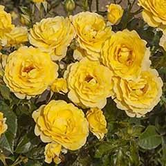 Gift Rose 'Golden Wedding'