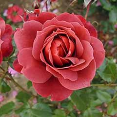 Premium Bush Rose 'Hot Chocolate'