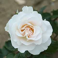 Rose 'Margaret Merrill'