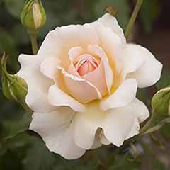Rose 'Chando's Beauty'