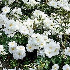 Groundcover Rose 'Flower Carpet White'