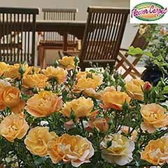 Groundcover Rose 'Flower Carpet Gold'