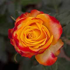 Premium Rose 'Tequila Sunrise'