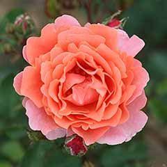 Climbing Rose 'Ali Baba'