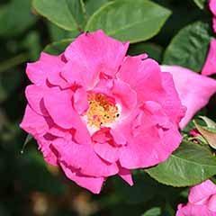 Climbing Rose 'Zephirine Drouhin' potted