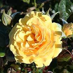 Rose 'Amber Queen'