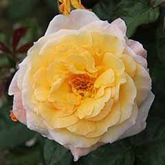 Climbing Rose Gold Charm'