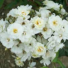 Climbing Rose 'Rambling Rector'