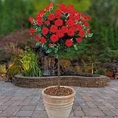Patio Standard Roses - Pair Of Red
