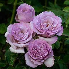 Half Standard Rose 'Blue Beauty'