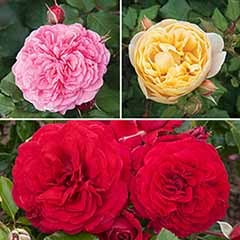 Old English Shrub Rose Collection