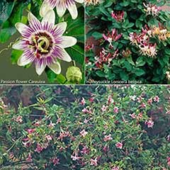 Climbing Plant Collection - 3 varieties