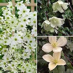 Evergreen Clematis Collection