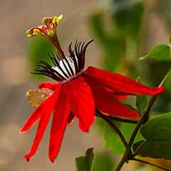 Crimson Passion Flower - Passiflora vitifolia