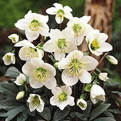 Helleborus niger - Christmas Rose