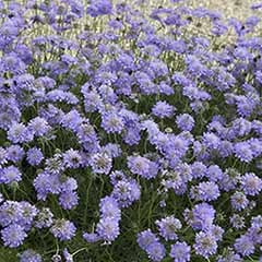Scabious Butterfly Blue (R)
