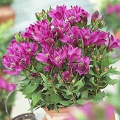 Alstroemeria Butterfly Mixed 12 Plug Plants
