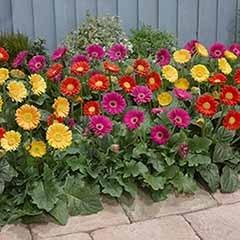 Hardy Gerbera Garvinea �Sweet� series x 6 plants in 7cm pot