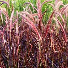 Purple Fountain Grass Pennisetum 'Fireworks'