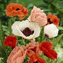 Oriental Poppy Collection