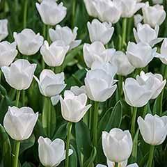 Tulip 'Triumph White'