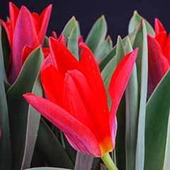 Tulip 'Scarlet Baby'