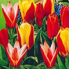 Tulip 'Kaufmanniana Mixed'