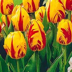 Tulip 'Washington'